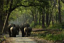 Elephant herd in saal forests of Corbett
