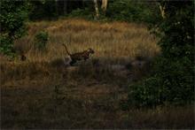 Cubs in kanha meadows
