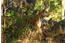 Majestic tigers of Pench