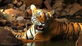 Ranthambore Tiger Noor