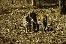 Tiger Paradise of central India