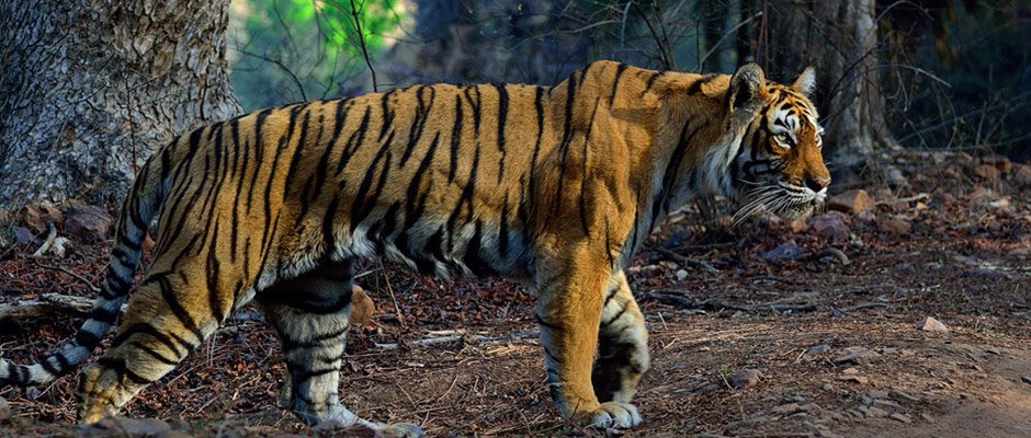 Legendary Tigress Machli- Queen of Ranthambore