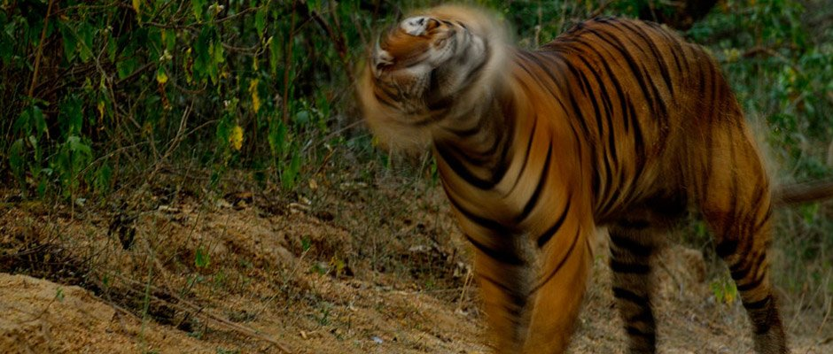 Fateh aka T42 from Ranthambore