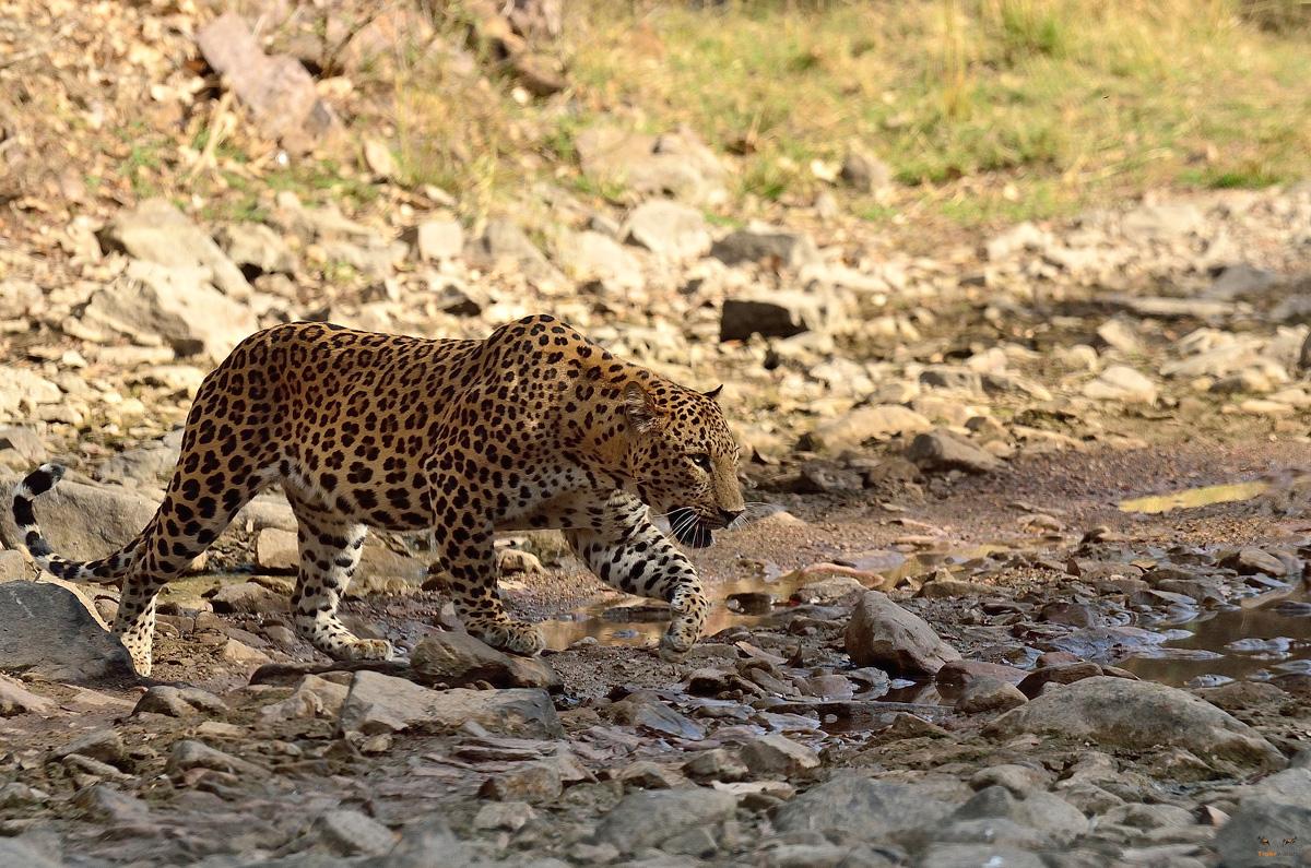 Leopard-Safari-Jaipur